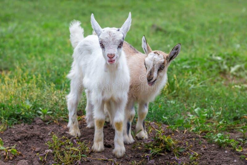 Δύο μικρές αίγες στο υπόβαθρο της πράσινης χλόης αγροτικό τοπίο ζώων καλοκαίρι πολλών sheeeps στοκ φωτογραφία με δικαίωμα ελεύθερης χρήσης