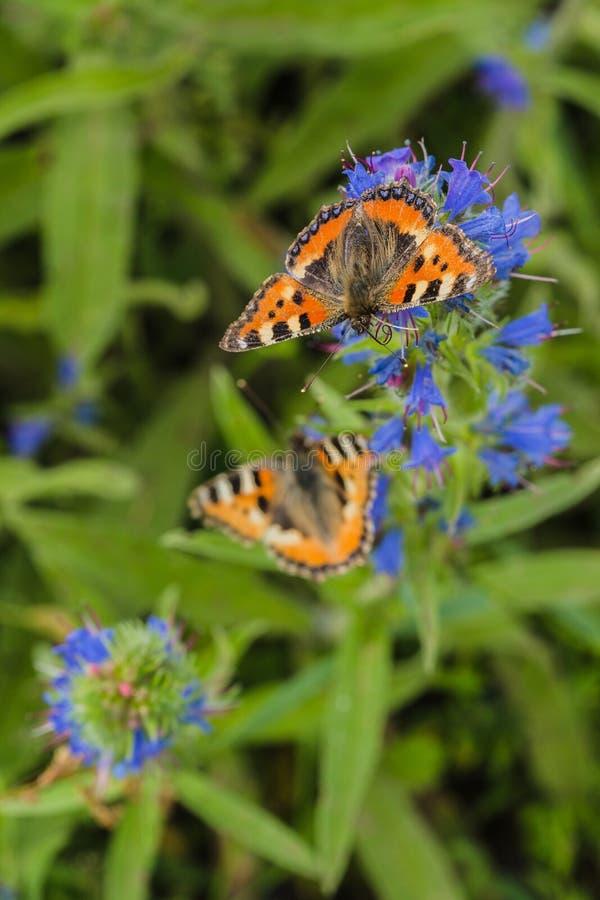 Δύο μικρές πεταλούδες ταρταρουγών στο μπλε λουλούδι στοκ εικόνες