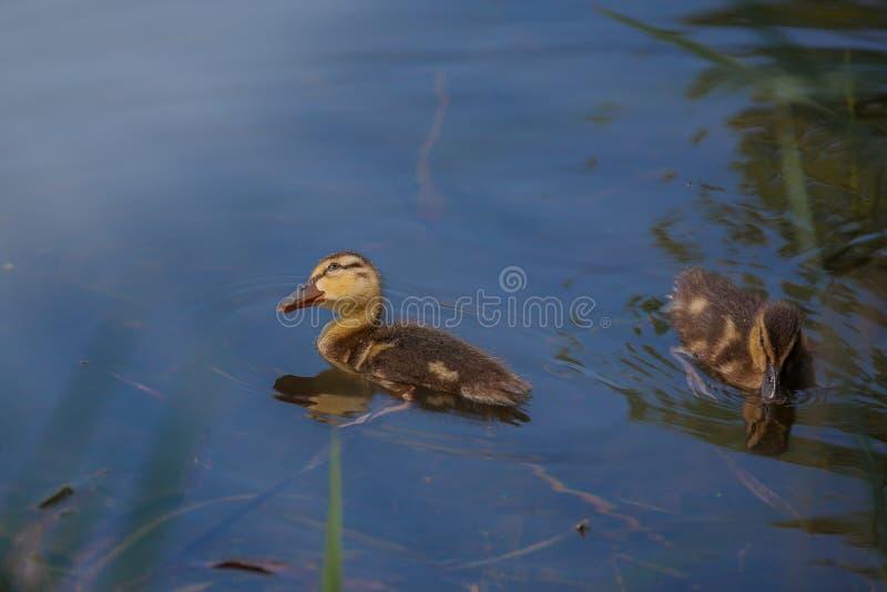 Δύο μικροί νεοσσοί στοκ φωτογραφία