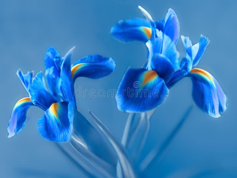 Δύο μπλε άνθη ίριδας με κίτρινο χρώμα στα πέταλα βάσης στοκ φωτογραφίες με δικαίωμα ελεύθερης χρήσης