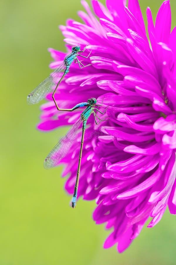 Δύο μπλε damselflies ζευγαρώματος στο ρόδινο λουλούδι στοκ εικόνα με δικαίωμα ελεύθερης χρήσης