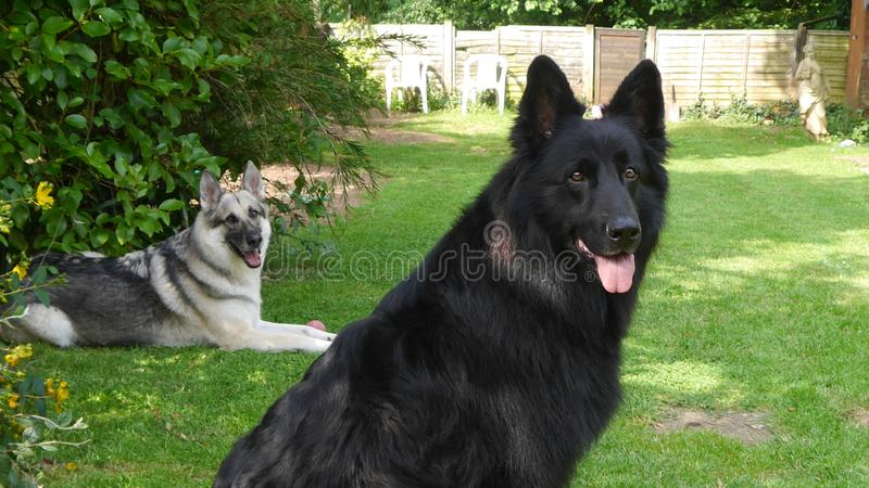 Δύο νέα γερμανικά σκυλιά ποιμένων χαλαρώνουν μέσα τον τρόπο σε έναν χλοώδη χορτοτάπητα στοκ εικόνες με δικαίωμα ελεύθερης χρήσης