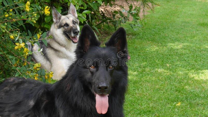 Δύο νέα γερμανικά σκυλιά ποιμένων χαλαρώνουν μέσα τον τρόπο σε έναν χλοώδη χορτοτάπητα στοκ φωτογραφία με δικαίωμα ελεύθερης χρήσης