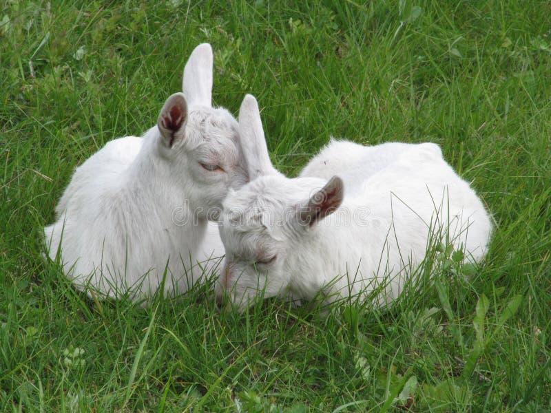 Δύο νέες άσπρες αίγες βόσκουν στοκ εικόνα με δικαίωμα ελεύθερης χρήσης
