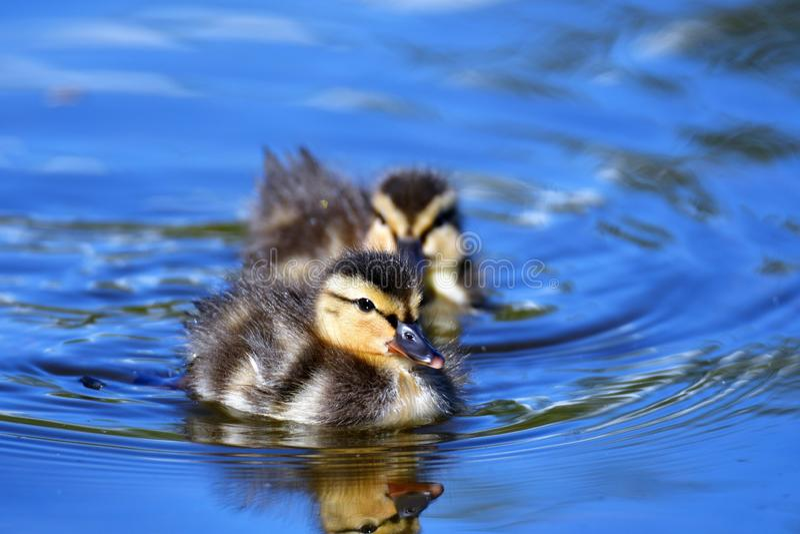 Δύο νεοσσοί κολυμπούν στη λίμνη στοκ φωτογραφίες