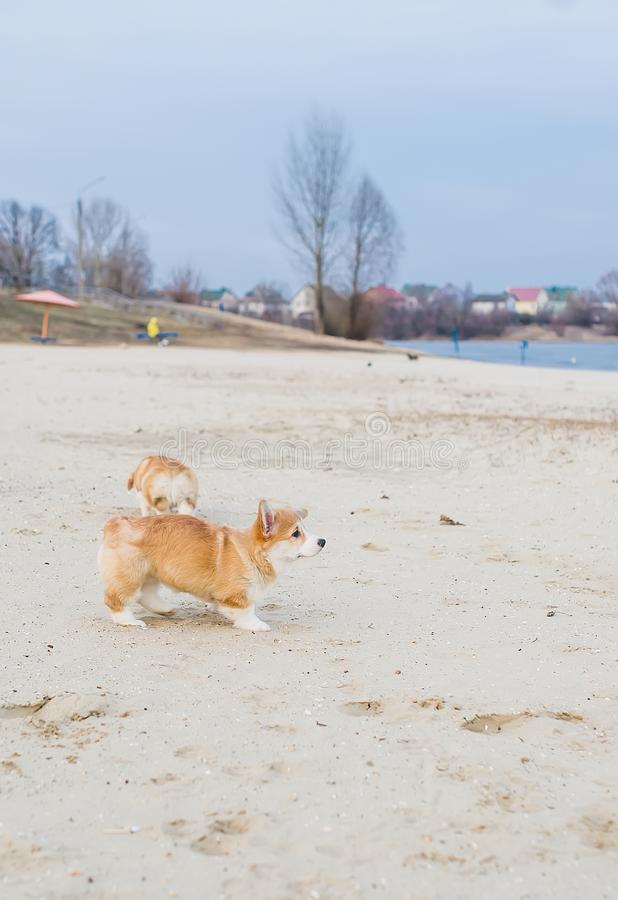 Δύο ουαλλέζικα κουτάβια corgi pembroke που παίζουν στην αμμώδη παραλία στοκ φωτογραφία
