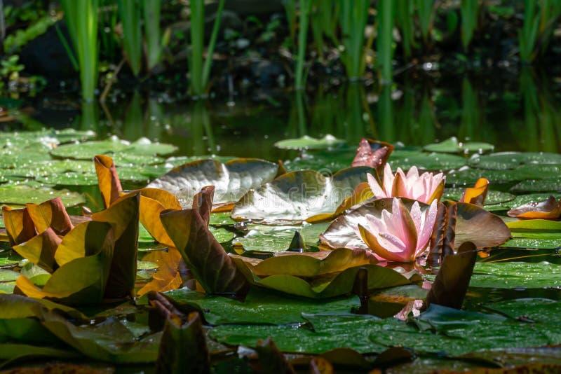 Δύο οφθαλμοί των ρόδινων κρίνων ή των λουλουδιών Marliacea Rosea νερού λωτού ανοίγουν με τα μεγάλα πορφυρά και πράσινα φύλλα στοκ εικόνες