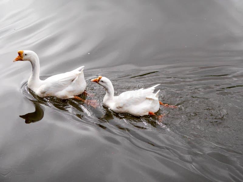 Δύο πάπιες που κολυμπούν σε μια λίμνη στοκ εικόνες