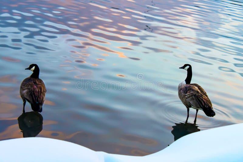 Δύο πάπιες που στέκονται στο νερό με τις αντανακλάσεις του ηλιοβασιλέματος εκτός από μια χιονώδη ακτή στοκ εικόνες