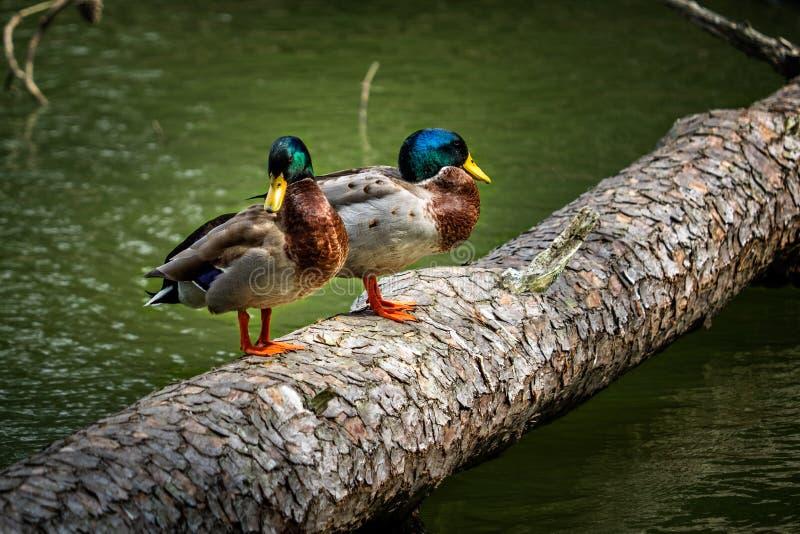 Δύο πάπιες πρασινολαιμών που στέκονται σε ένα κούτσουρο στοκ εικόνα με δικαίωμα ελεύθερης χρήσης