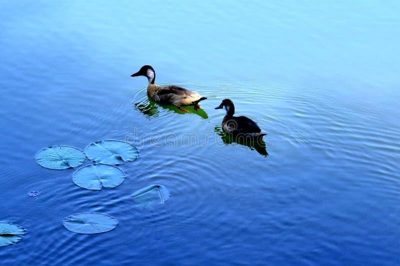 Δύο πάπιες σε μια μπλε λίμνη στοκ φωτογραφίες