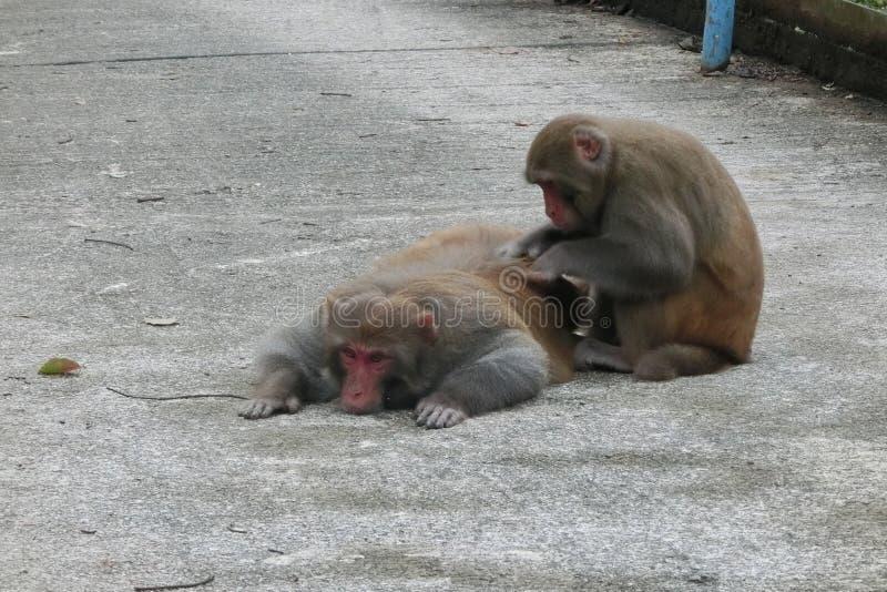 Δύο πίθηκοι απολαμβάνουν τις ζωές τους σε Shatin στοκ φωτογραφία με δικαίωμα ελεύθερης χρήσης