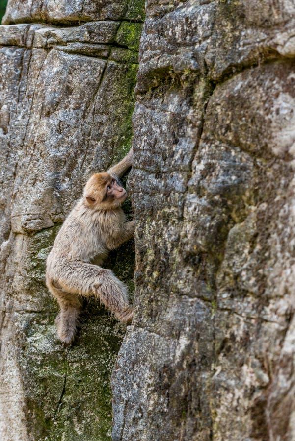 Δύο πίθηκοι Βαρβαρίας βρίσκονται σε ένα stoneBarbary Macaque αναρριχούνται επάνω σε έναν βράχο στοκ φωτογραφία με δικαίωμα ελεύθερης χρήσης