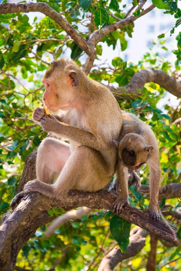 Δύο πίθηκοι είναι στο δέντρο στοκ εικόνα με δικαίωμα ελεύθερης χρήσης