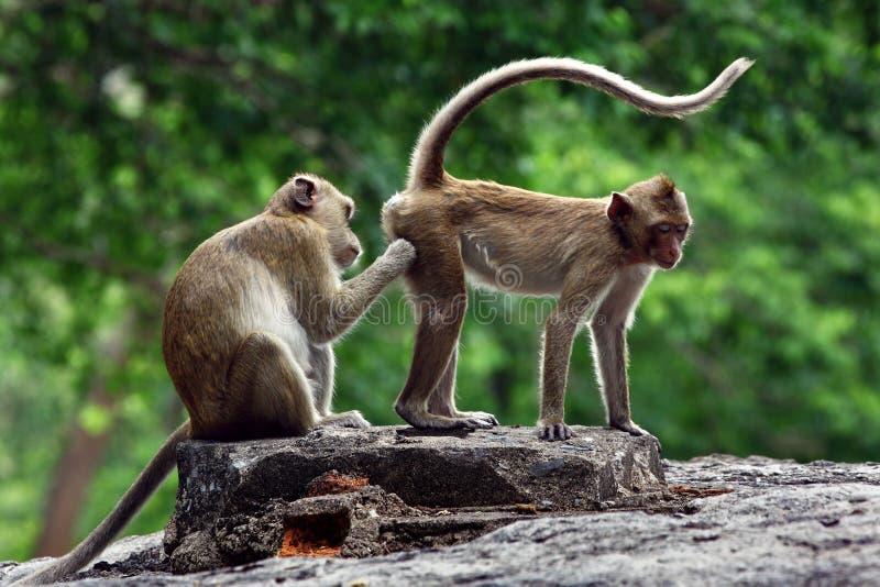 Δύο πίθηκοι χαριτωμένοι στοκ εικόνες με δικαίωμα ελεύθερης χρήσης