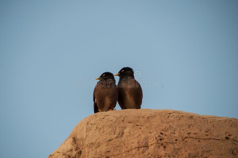Δύο παρόμοια πουλιά που θέτουν στο βράχο στοκ εικόνα
