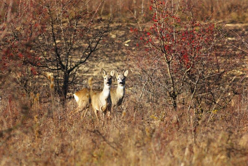 Δύο περίεργα deers αυγοτάραχων στοκ εικόνα
