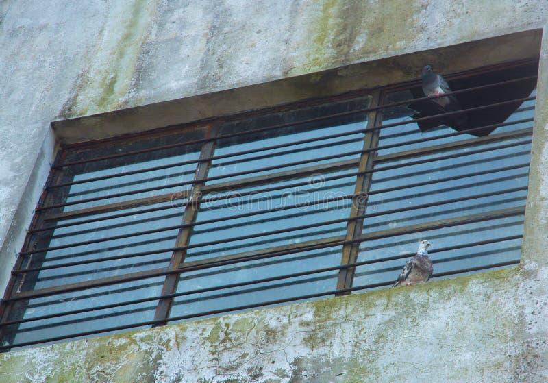 Δύο περιστέρια που σκαρφαλώνουν σε ένα παράθυρο στοκ εικόνα με δικαίωμα ελεύθερης χρήσης