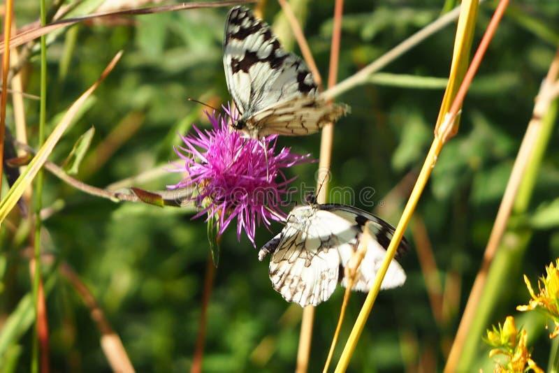 Δύο πεταλούδες που ταΐζουν με ένα λουλούδι, santiso, Λα coruña στοκ εικόνα