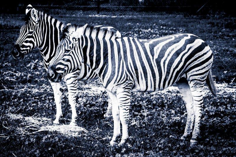 Δύο πεδιάδες Zebras που στέκονται στη χλόη - ο τυποποιημένοι Μαύρος και whi στοκ φωτογραφία με δικαίωμα ελεύθερης χρήσης