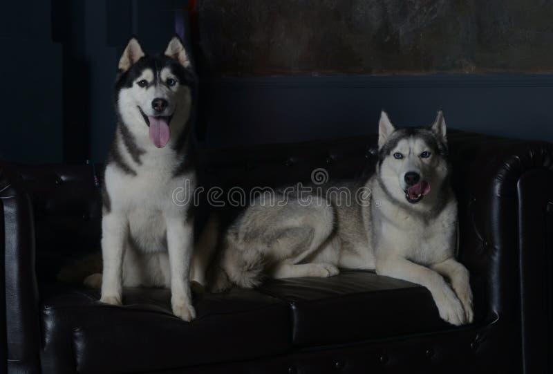 Δύο πολυτελή σκυλιά σε έναν πολυτελή καναπέ στοκ φωτογραφία με δικαίωμα ελεύθερης χρήσης