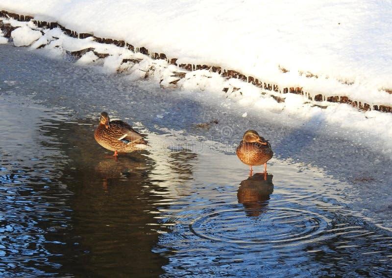 Δύο πουλιά παπιών στην ακτή ποταμών, Λιθουανία στοκ εικόνες με δικαίωμα ελεύθερης χρήσης