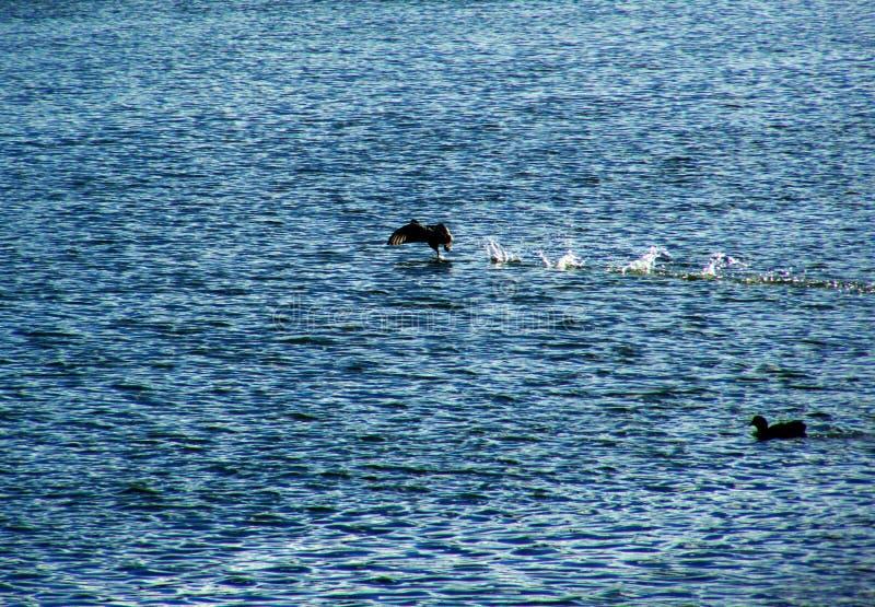 Δύο πουλιά στο νερό στοκ εικόνες