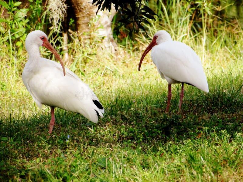 Δύο πουλιά που περπατούν από κοινού στοκ φωτογραφίες