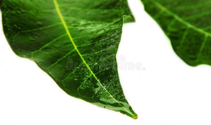 Δύο πράσινα και υγρά φύλλα στοκ φωτογραφίες με δικαίωμα ελεύθερης χρήσης