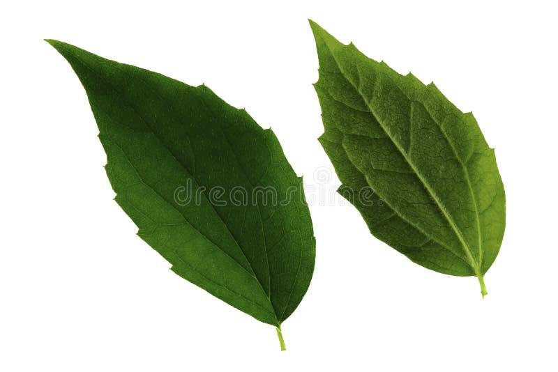 Δύο πράσινα jasmine φύλλα που απομονώνονται από την άσπρη πλευρά υποβάθρου, κορυφών και κατώτατων σημείων του φύλλου στοκ φωτογραφία με δικαίωμα ελεύθερης χρήσης