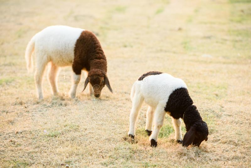 Δύο πρόβατα που τρώνε τη χλόη το βράδυ στοκ εικόνα με δικαίωμα ελεύθερης χρήσης