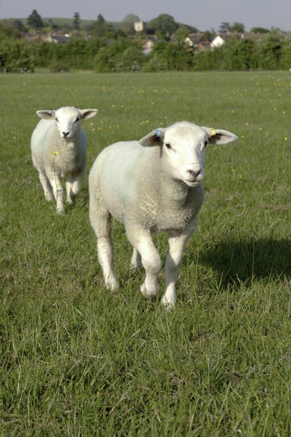 Δύο πρόβατα στοκ εικόνα με δικαίωμα ελεύθερης χρήσης