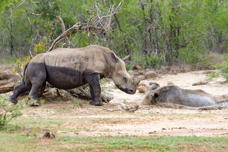 Δύο ρινόκεροι που μοιράζονται ένα λάσπη-λουτρό στην επιφύλαξη παιχνιδιού Hluhluwe/Imfolozi στο Κουά Ζούλου Νατάλ, Νότια Αφρική στοκ φωτογραφία