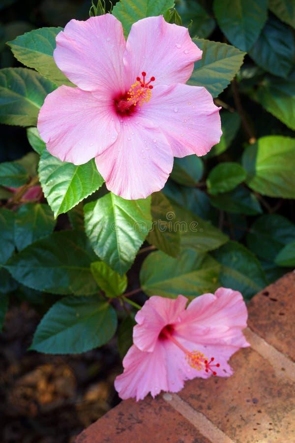 Δύο ρόδινα hibiscus λουλούδια στοκ φωτογραφίες με δικαίωμα ελεύθερης χρήσης