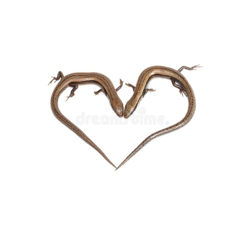 Δύο σαύρες υπό μορφή καρδιάς στοκ εικόνα