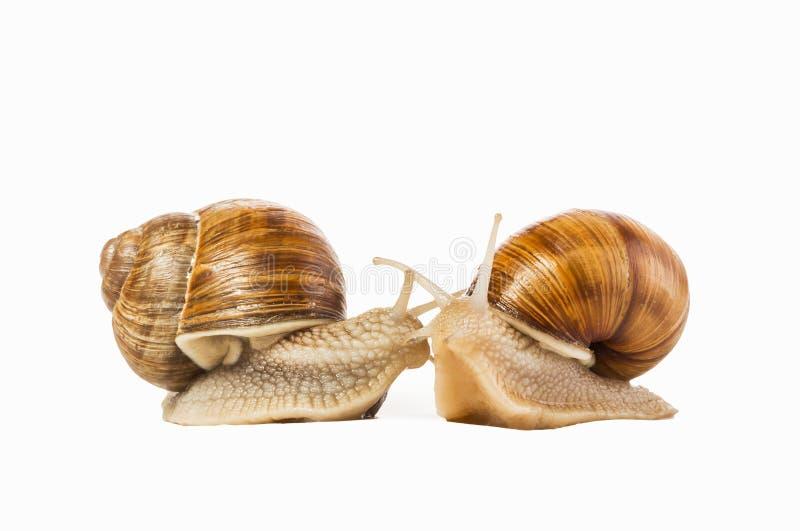 Δύο σαλιγκάρια που επισύρονται την προσοχή ο ένας στον άλλο απομονωμένος σε ένα άσπρο υπόβαθρο Γ στοκ εικόνα με δικαίωμα ελεύθερης χρήσης