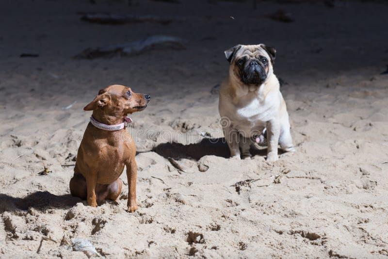 Δύο σκυλιά κάθονται στη θάλασσα της Βαλτικής Λευκά σφουγγαρίστρες και brovn τεριέ παιχνιδιών στοκ εικόνες