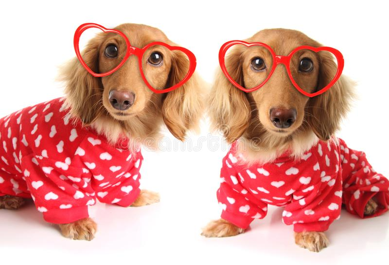 Δύο σκυλιά κουταβιών Dachshund που φορούν τις κόκκινες πυτζάμες ημέρας βαλεντίνων με τις άσπρες καρδιές στοκ εικόνες