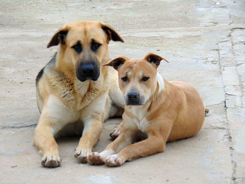 Δύο σκυλιά που κάθονται το ένα δίπλα στο άλλο στοκ εικόνα με δικαίωμα ελεύθερης χρήσης