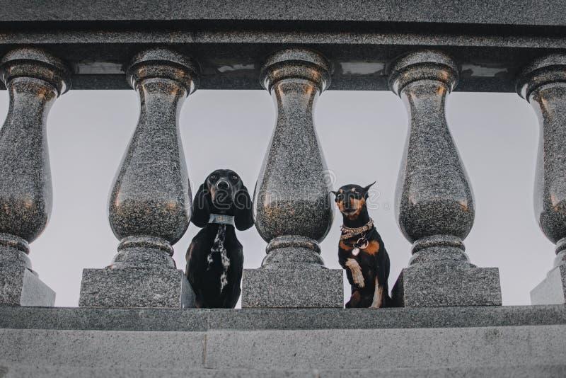 Δύο σκυλιά που προσέχουν από πίσω από τους στυλοβάτες στοκ εικόνα με δικαίωμα ελεύθερης χρήσης