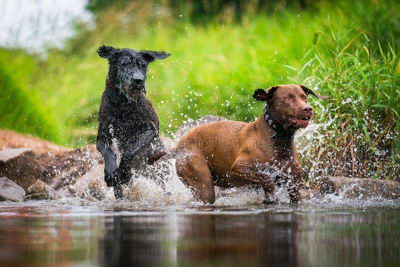 Δύο σκυλιά που στο νερό στοκ εικόνα με δικαίωμα ελεύθερης χρήσης