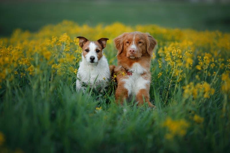 Δύο σκυλιά σε έναν τομέα λουλουδιών στοκ φωτογραφία