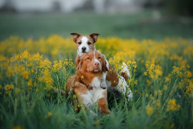 Δύο σκυλιά σε έναν τομέα λουλουδιών στοκ εικόνες με δικαίωμα ελεύθερης χρήσης