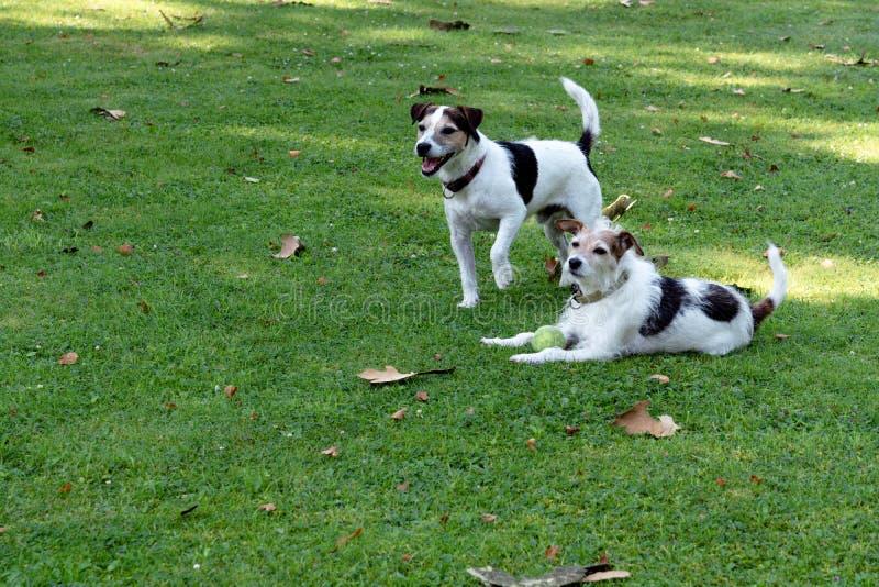 Δύο σκυλιά της φυλής τεριέ του Jack Russell είναι στο χορτοτάπητα και φρουρούν τη σφαίρα στοκ εικόνες