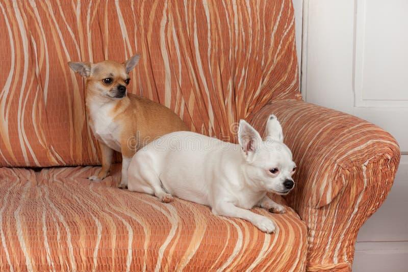 Δύο σκυλιά Chihuahua βρίσκονται στον καναπέ, χρονών το θηλυκό κανέλας 2,5 και χρονών το λευκό θηλυκό 5 στοκ εικόνες