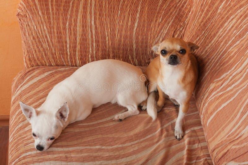 Δύο σκυλιά Chihuahua βρίσκονται στον καναπέ, χρονών το θηλυκό κανέλας 2,5 και χρονών το λευκό θηλυκό 5 στοκ φωτογραφίες