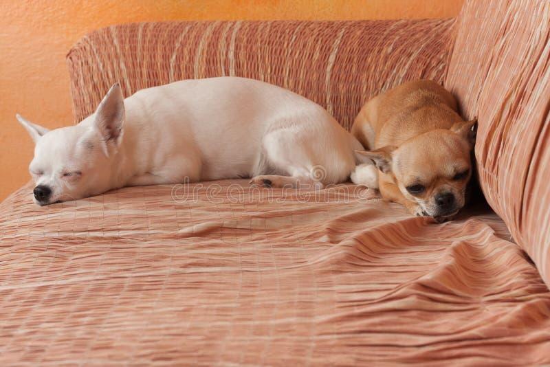 Δύο σκυλιά Chihuahua βρίσκονται στον καναπέ, χρονών το θηλυκό κανέλας 2,5 και χρονών το λευκό θηλυκό 5 στοκ φωτογραφία