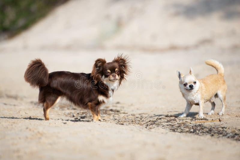 Δύο σκυλιά chihuahua στην παραλία στοκ εικόνα