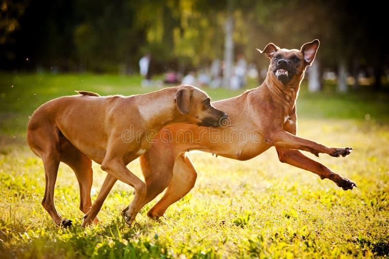Δύο σκυλιά ridgeback που παίζουν στοκ εικόνες με δικαίωμα ελεύθερης χρήσης