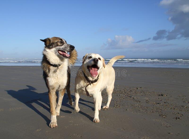 Δύο σκυλιά κατοικίδιων ζώων στην παραλία στοκ εικόνες